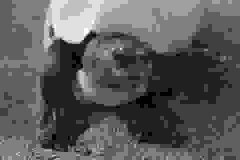Rùa mặt cười hồi sinh sau khi tưởng chừng tuyệt chủng