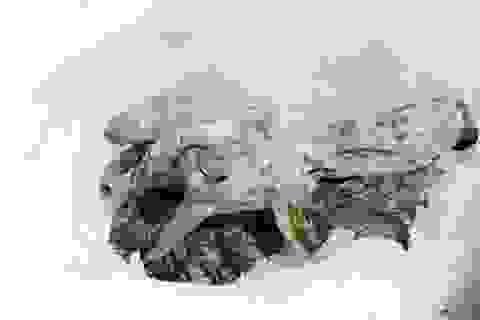 Tìm thấy xác ướp sơn dương đóng băng cực hiếm trên dãy Alps