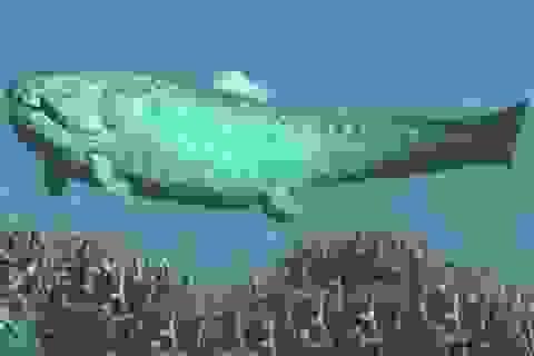 Sẽ viết lại lịch sử tiến hoá của cá mập bởi hóa thạch  410 triệu năm tuổi?
