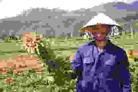 Nông dân thu về trên 6 triệu đồng/sào nhờ... làm bạn với cây đậu phộng