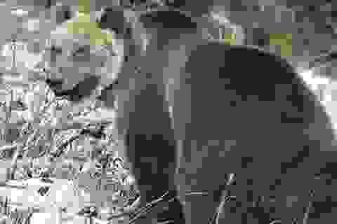 """Con gấu bị truy lùng gắt gao nhất châu Âu: """"Bậc thầy đào tẩu"""", hàng rào điện cũng vô dụng"""