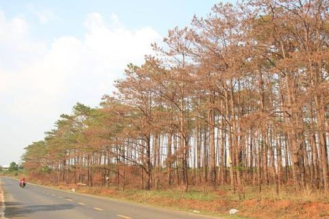 """Những cánh rừng """"chết"""" dọc quốc lộ"""