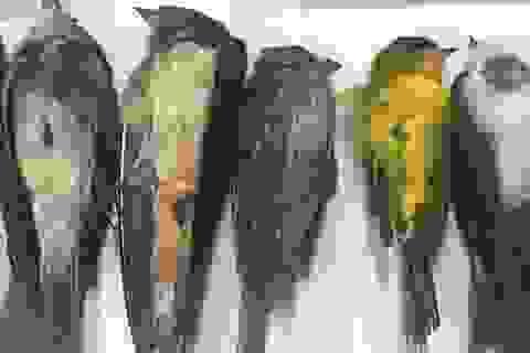 Hàng triệu con chim đột ngột chết bí ẩn ở Mỹ