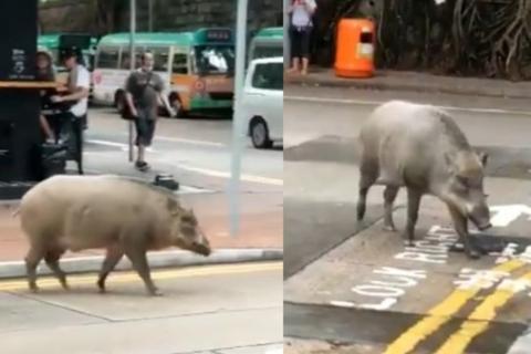 Lợn rừng thơ thẩn dạo bước bên ngoài quán cà phê ở Hong Kong