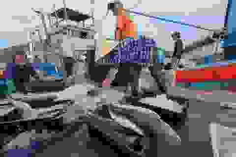 Chạy bão ngư dân vẫn trúng mẻ cá dũa thu hàng chục triệu đồng