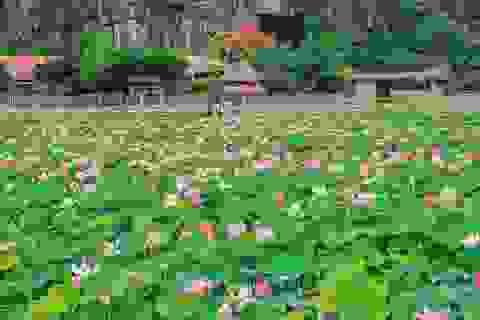 Trồng sen Nhật, thả cá và làm du lịch ở ruộng lúa, nông dân kiếm bộn tiền