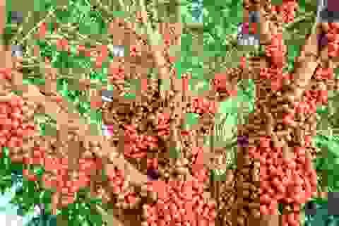 """Du khách """"lịm tim"""" với mùa dâu đất chín đỏ vùng trung du Quảng Nam"""
