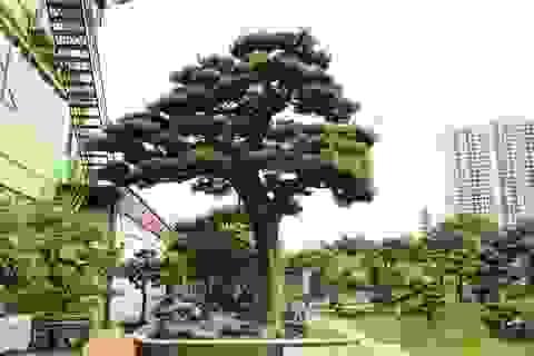 """""""Tay chơi"""" Hà Nội bán nhà trên phố để sở hữu cây tùng hơn 300 năm tuổi"""