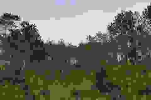 Rừng thông lớn bị khoan lỗ, đổ hóa chất đầu độc
