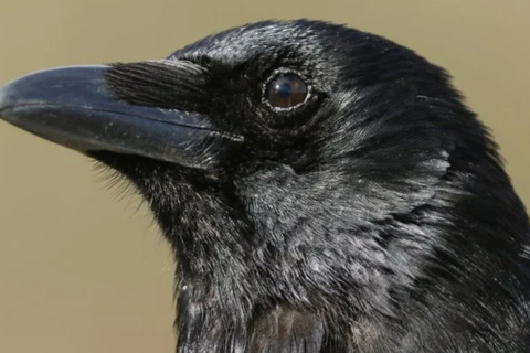 Loài quạ có khả năng suy nghĩ có ý thức