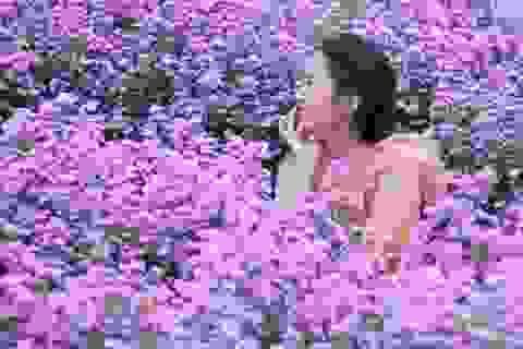 """Náo nức """"check in"""" vườn hoa thạch thảo tím """"lịm tim"""" ở Đà Nẵng"""