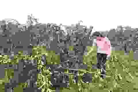 Vườn chanh dây 1,5ha bị phá hại tan tành trong đêm