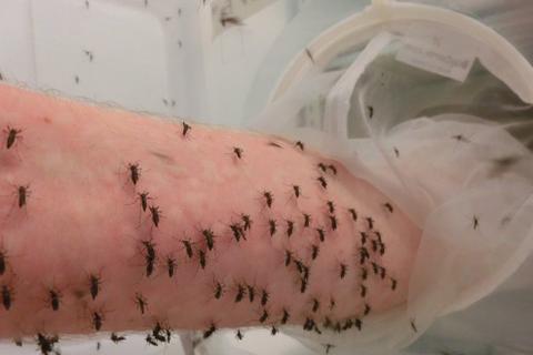 Cho hàng nghìn con muỗi đốt người để nghiên cứu khoa học