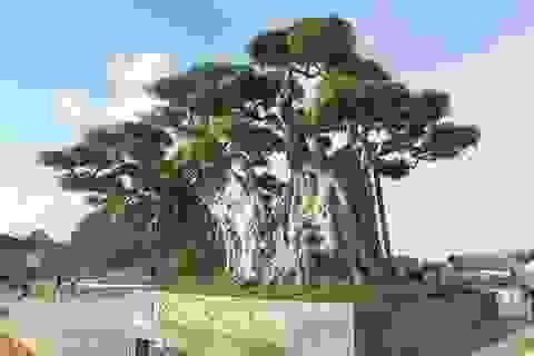 """Cây sanh """"khủng"""" khiến ông chủ thầu xây ngôi chùa lớn nhất thế giới mê mẩn"""