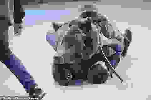 Nhân viên đoàn xiếc tử nạn vì bị gấu tấn công