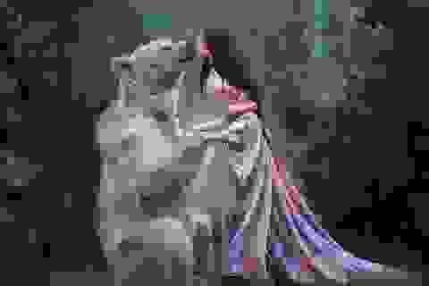 """Chú gấu mồ côi bỗng trở thành """"người mẫu ăn khách"""""""