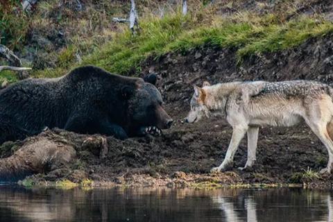 Cuộc đụng độ ấn tượng của gấu xám và sói