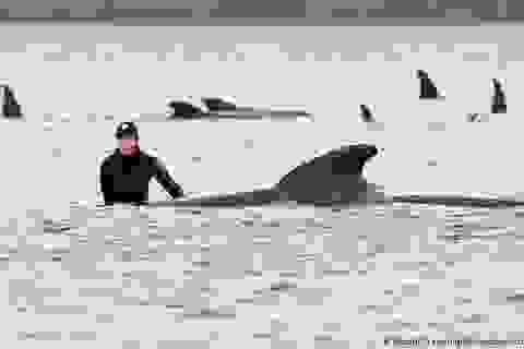 Vì sao cá voi và cá heo bị mắc cạn?