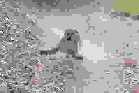 """Video hú vía báo sư tử rình rập, chực """"nhảy xổ"""" vào người đi đường"""