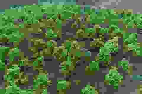 Tỷ phú nông dân trồng loài cây xanh ngắt nhưng ra thứ hoa quý bán đắt như giá vàng