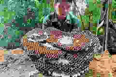 Nuôi ong kịch độc lấy thịt, thương lái lùng mua nửa triệu đồng/kg