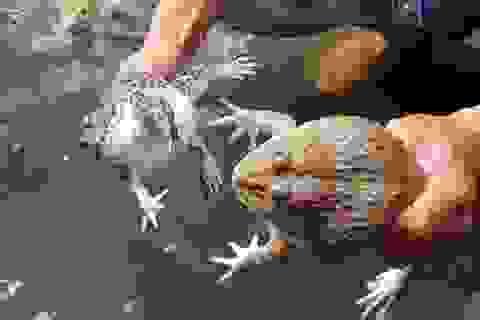 """Kiếm thu nhập """"khủng"""" nhờ làm nghề nuôi ếch Thái Lan"""