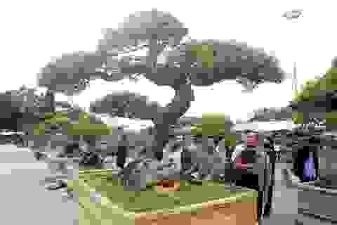 """Khế cổ dáng Thiên Long - """"siêu"""" cây cực """"khủng"""" khiến dân chơi mê mệt"""