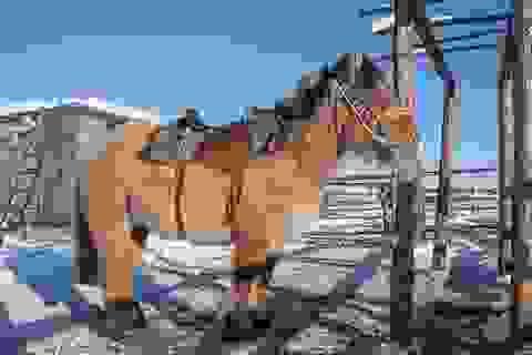 Loài ngựa kỳ lạ có thể sống bình thường dưới -70 độ C ở Nga