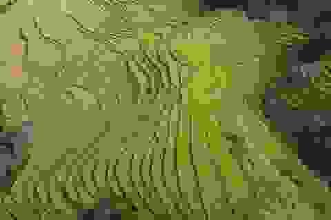 Về vùng cao Tiên Yên ở Quảng Ninh ngắm mùa vàng rực rỡ