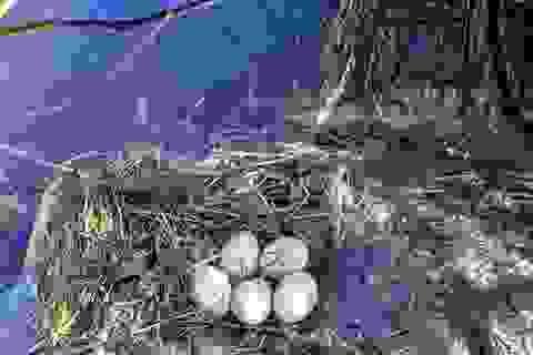 Trứng loài chim hoang dã giống như vịt, 50 ngàn đồng/quả vẫn không có bán