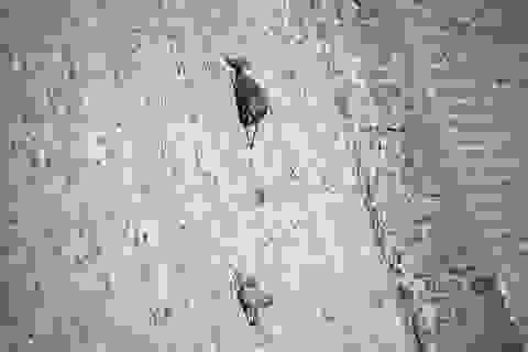 Loài dê có khả năng leo núi thách thức trọng lực kì lạ nhất thế giới