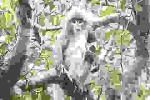 Loài linh trưởng mới được phát hiện ở Myanmar