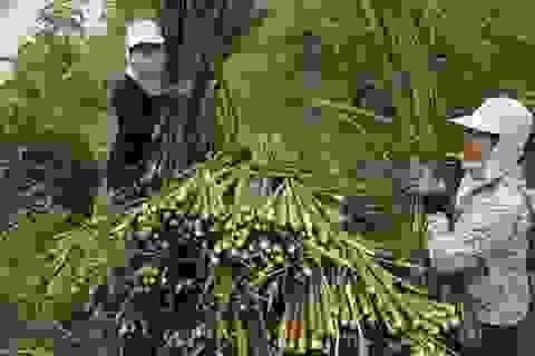 Nam Định: Người trồng niễng thất thu vì rớt giá