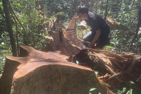 """Tỉnh Gia Lai chỉ đạo """"nóng"""" vụ la liệt cây đại thụ bị đốn hạ giữa rừng xanh"""