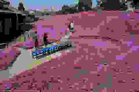 Vườn hoa đẹp như cổ tích của người đàn ông dành 10 năm trồng tặng vợ