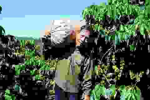 Vất vả mưu sinh bằng nghề hái cà phê thuê ở Tây Nguyên