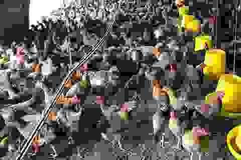 Kháng sinh sử dụng trong chăn nuôi, tai họa rình rập cộng đồng