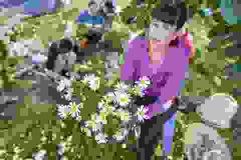Người Nhật Tân thu bạc triệu mỗi ngày từ cúc họa mi vào mùa