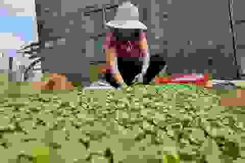 Người dân tái thiết vườn rau sau lũ, chuẩn bị vào vụ Tết
