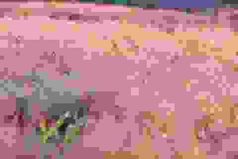 Đẹp như tranh vẽ mùa cỏ hồng Đà Lạt