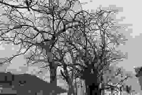 Cây xanh trên đảo tiền tiêu trụi lá sau bão lớn