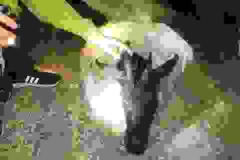 Bắt giữ 2 thanh niên nghi giết hại sơn dương trái phép