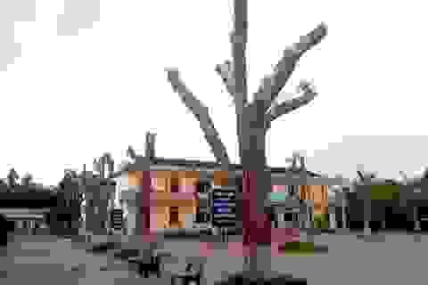 Hàng loạt cây xanh trong khuôn viên nhà trường bị cắt tỉa cành trơ trọi