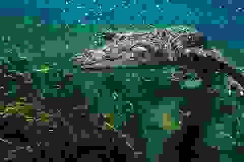 Cá sấu có thể mọc lại đuôi như thằn lằn