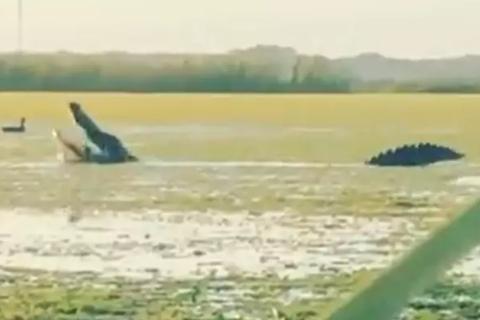 """Clip triệu view: Cá sấu """"hớt tay trên"""" thợ săn, đớp vịt nhai ngấu nghiến"""