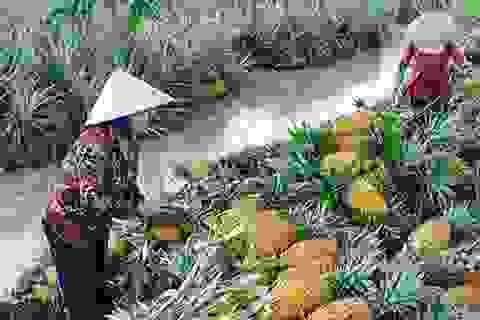 Giá dứa tăng cao, nông dân thu lãi lớn