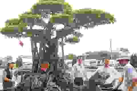 Siêu cây triệu đô tái xuất ở Hà Nội
