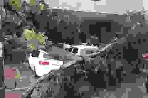 Hà Nội: Cây xà cừ bật gốc trước bão, đè bẹp ô tô