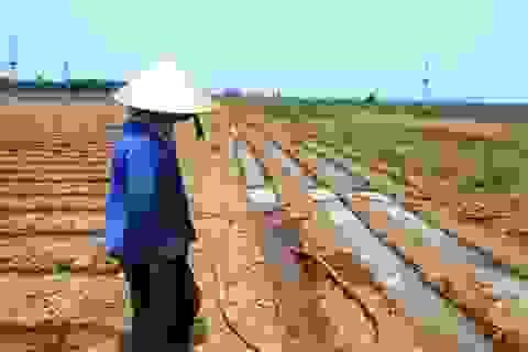 Đậu phộng lép hạt, nông dân điêu đứng, thất thu