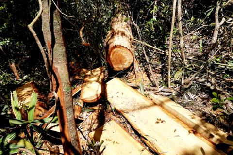 Vụ phá rừng pơmu biên giới Việt – Lào: Chuyển công tác Chi Cục trưởng Hải quan